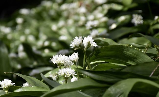 Wildgarlic Nature Photography Nature Forest Nikonphotography Nikon Nikon D7200 Abundance of wild garlic!😋