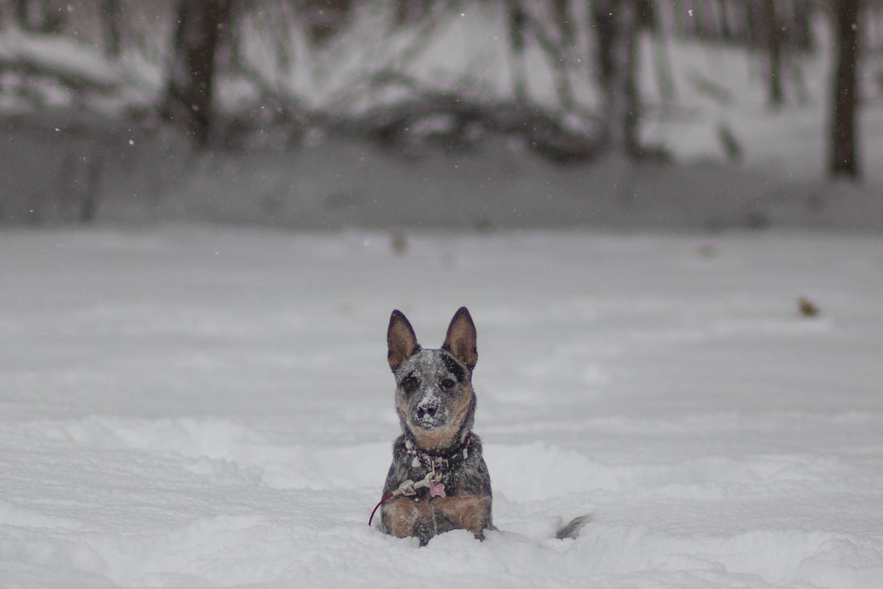 ACD  Australian Cattle Dog Blue Heeler Dog In Snow Dog Playing Dog Playing In Snow Heeler