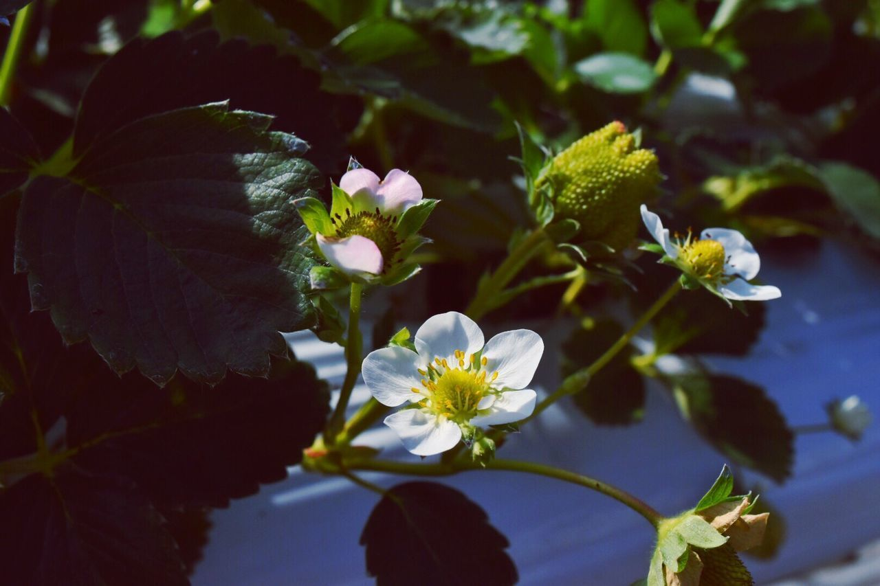 イチゴの花 strawberry Check This Out Strawberry Flower Flower Porn くわの農園
