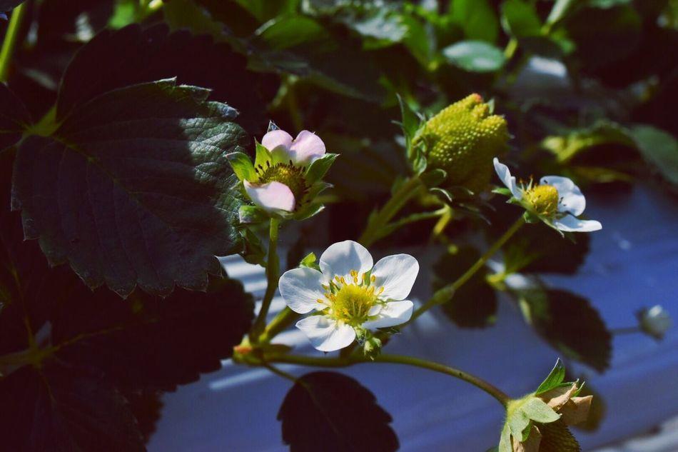 イチゴの花 strawberry Check This Out Strawberry Flower Flower Porn くわの農園
