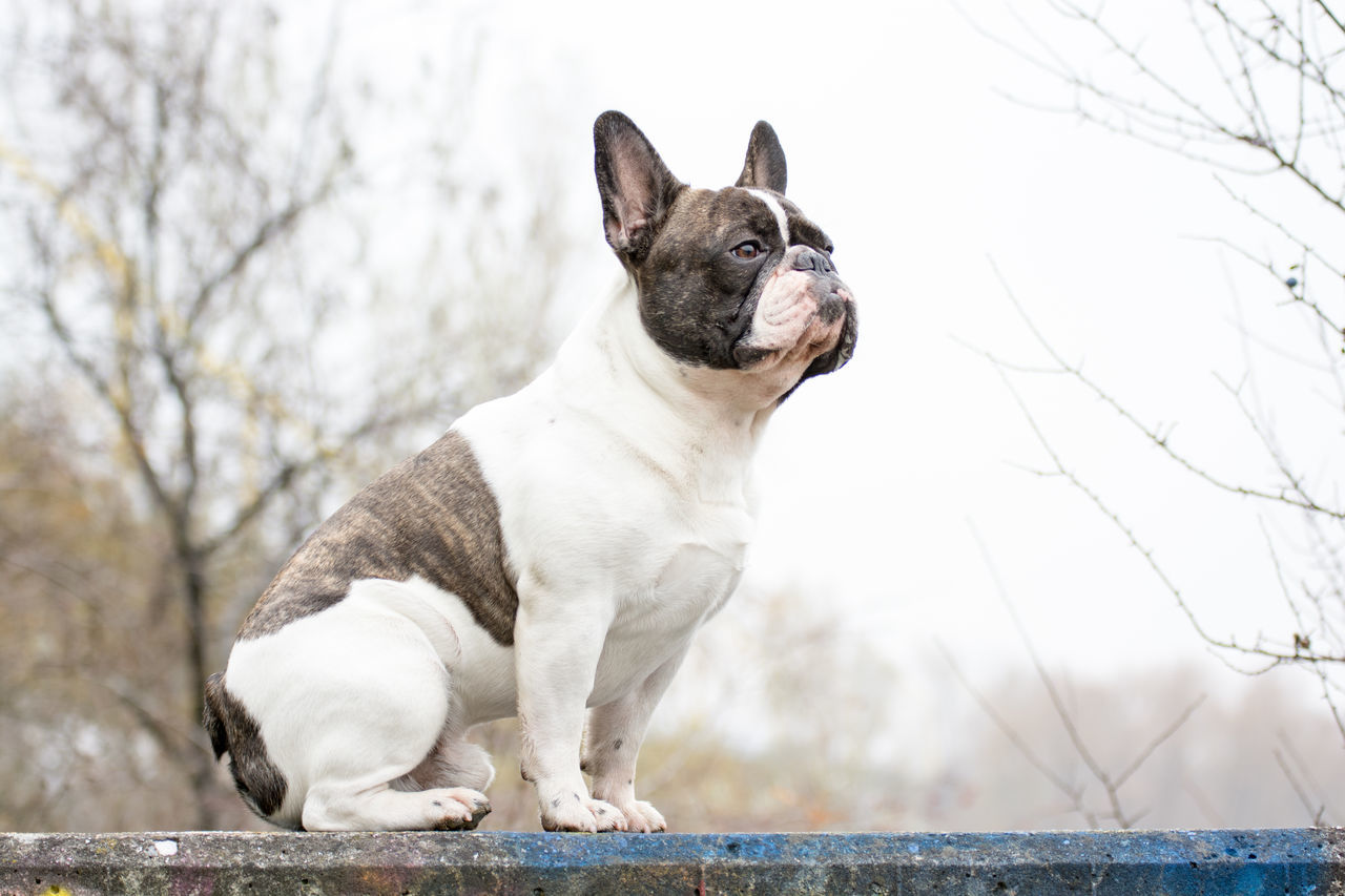 Full Length Of A French Bulldog Standing Guard