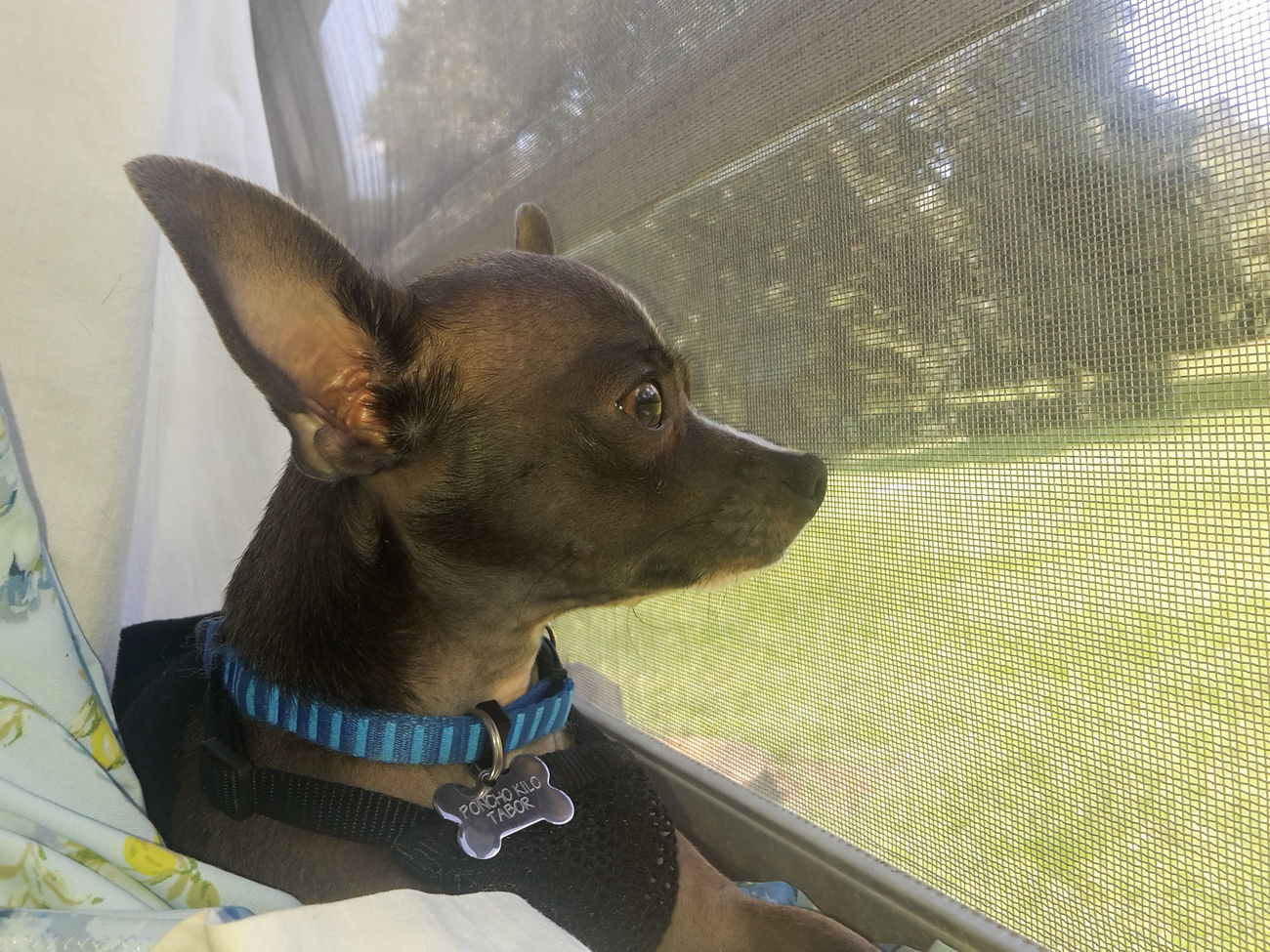There's A Whole World Out There that I can Pee on. Poncho Kilo Hanging Out In The Window My Best Friend Fellsmere Florida Chihuahua Lovers. Chihuahua Lovers Chihuahua My Dogs Are Cooler Than Your Kids Casa De Albatross Chihuahuas<3 Happy Dogs Fellsmere All Ears