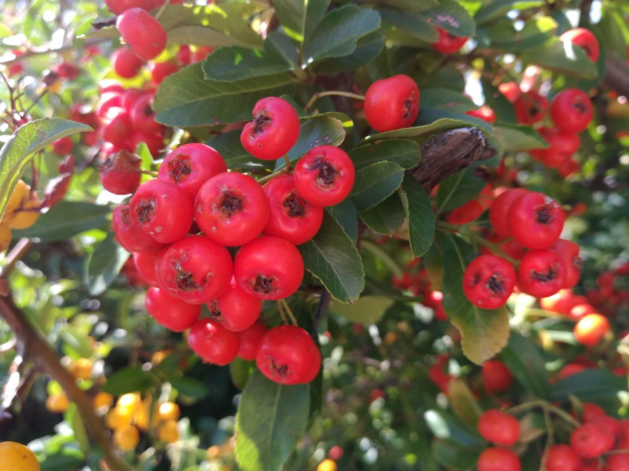 Fruit Growth Red Tree Freshness Leaf Close-up Food And Drink Bunch Of Berries Outdoors Plant Healthy Eating Nature No People Low Angle View Agriculture Day Food Rowanberry Assisi