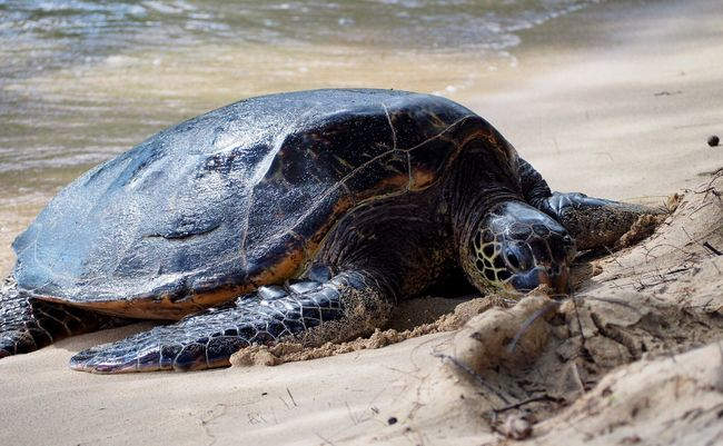 A Giant Green Sea Turtle Hawaii Oahu Turtle Animal Themes Animals In The Wild Nature Sea Turtle Animal Wildlife Natural Beauty Beauty In Nature Beauty