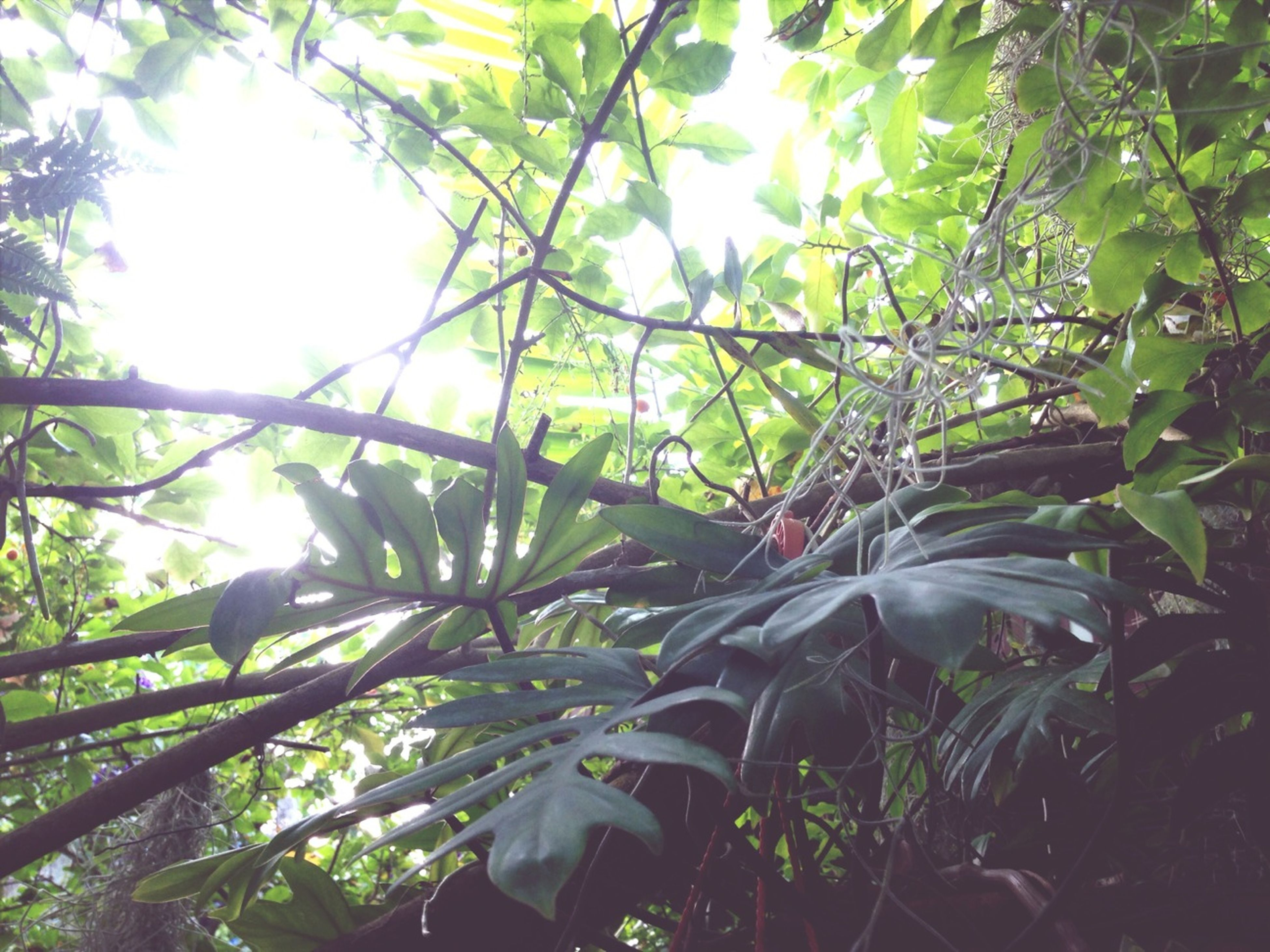 tree, growth, sun, branch, low angle view, leaf, sunlight, sunbeam, nature, lens flare, beauty in nature, green color, day, tranquility, sunny, outdoors, close-up, no people, plant, sky