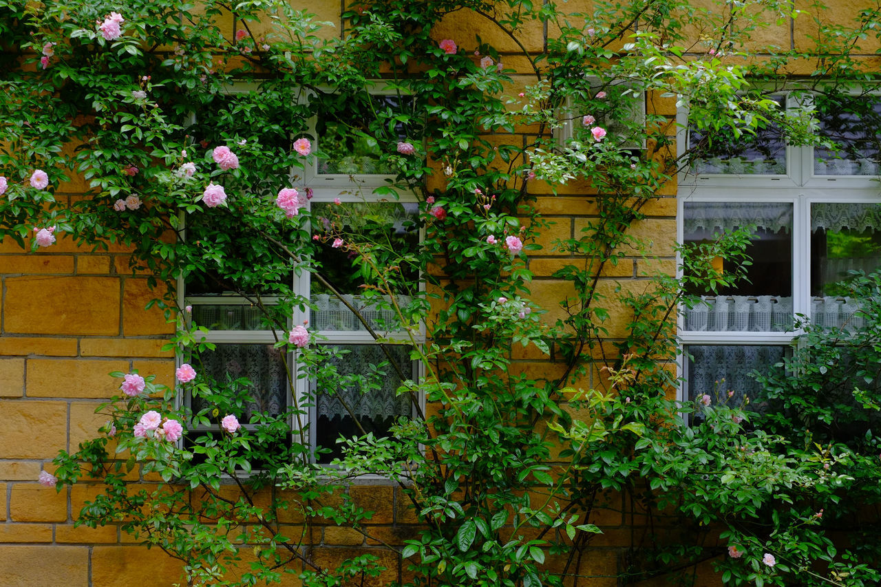 Wall. Nasu, Tochigi, Japan. Beauty In Nature Blooming Blossom Built Structure Day Flower Fragility Green Color Growing Growth In Bloom Ivy Japan Nature No People Outdoors Plant Roses Tree Wall