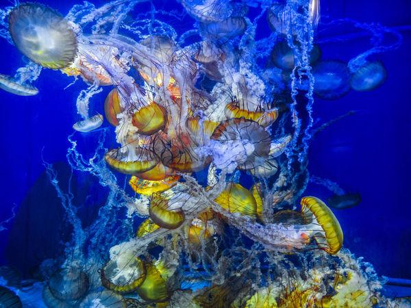 Alive  Life Nature Acquarium Animal Themes Animal Wildlife Animals In The Wild Aquarium Beauty In Nature Blue Close-up Day Jellyfish Jelyfish Nature No People No People, One Animal Outdoors Sea Sea Life Swimming UnderSea Underwater Water