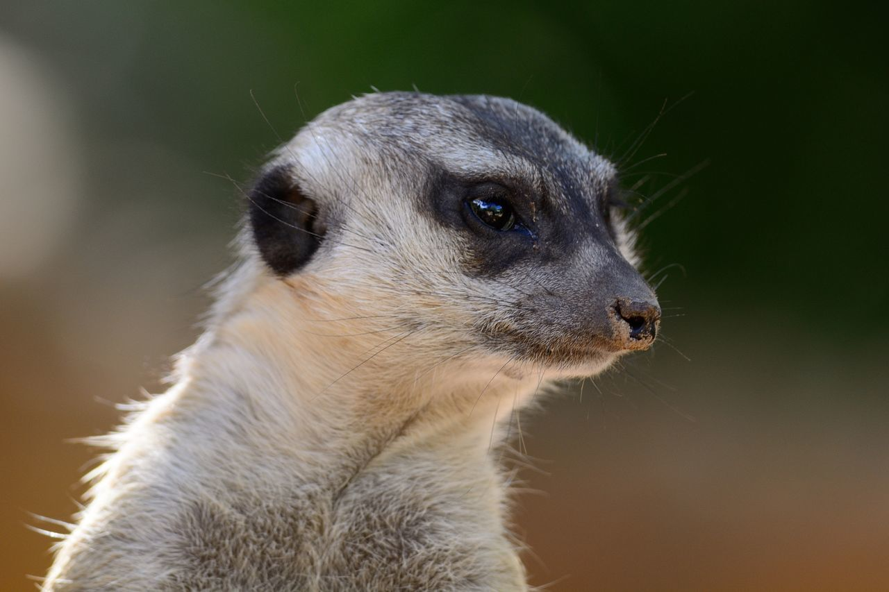 Animal Animals Bokeh Check This Out Close-up Cute Eye4photography  EyeEm Best Shots EyeEm Best Shots - Nature EyeEm Gallery EyeEm Nature Lover Hanging Out Headshot Hello World Mammal Meerkat Nature Nature Photography Nature_collection Naturelovers Outdoors Portrait Selective Focus Taking Photos Wildlife