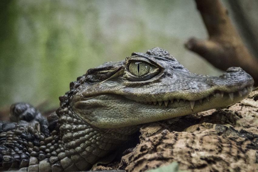 Amphibian Animal Body Part Animal Head  Animal Themes Caiman Crocodile Nature No People Wildlife