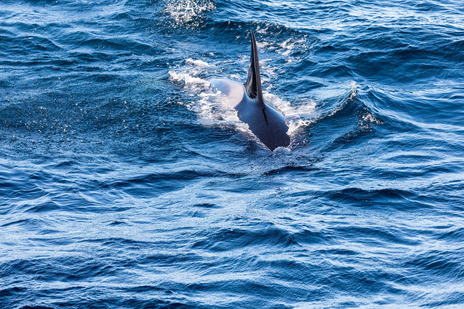 Animal Body Part Animal Fin Animal Themes Animals In The Wild Aquatic Mammal Beauty In Nature Killer Whale Low Section Mammal Moving Down Nature Norway One Animal Orca Outdoors Rippled Sea Sea Life Splashing Swimming Vesterålen Water Waterfront Whale Whale Watching