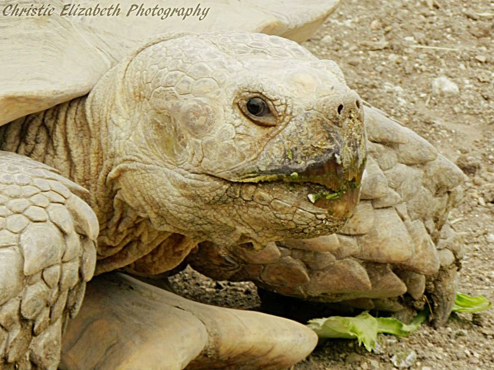 Turtle Turtle Love Turtles Turtlelover New Braunfels TX New Braunfels Texas New Braunfels Summertime In NEW Braunfels Texas Turtle 🐢 Turtle Cuteness Sand Lettuce Eating Animal Reptile Reptiles Reptilien Reptilelove Animals Animal Photography Animal_collection Animal Themes Animal Love Animal Portrait
