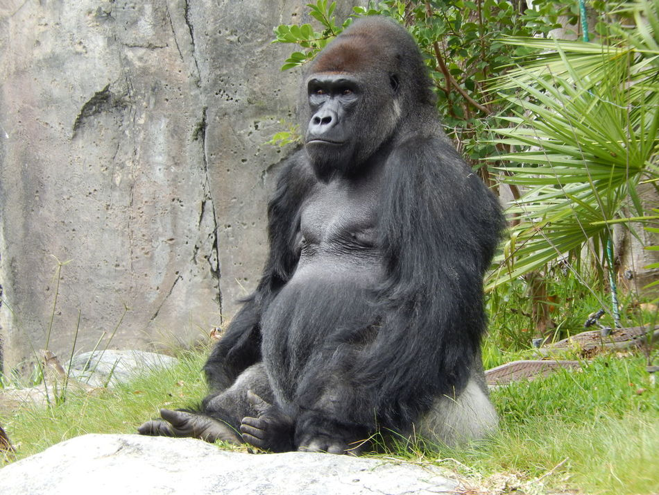 Beautiful stock photos of gorillas, Animal Hair, Animal Themes, Animals In The Wild, Black