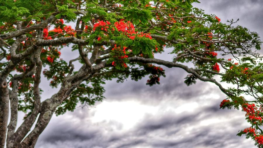 Scanaki Just4fun Photography Nikon D5100  Flamboyant Nature Flowers Tree NikonD5100 EyeEm Best Sellers Popular Photos Trees In Reunion Check This Out Taking Photos Walking Around Mybestreunionislandphotos Reunion  Naturelovers Colorful Ride Dramatic Sky Red Grey Sky Green Minimalist Perspectives On Nature