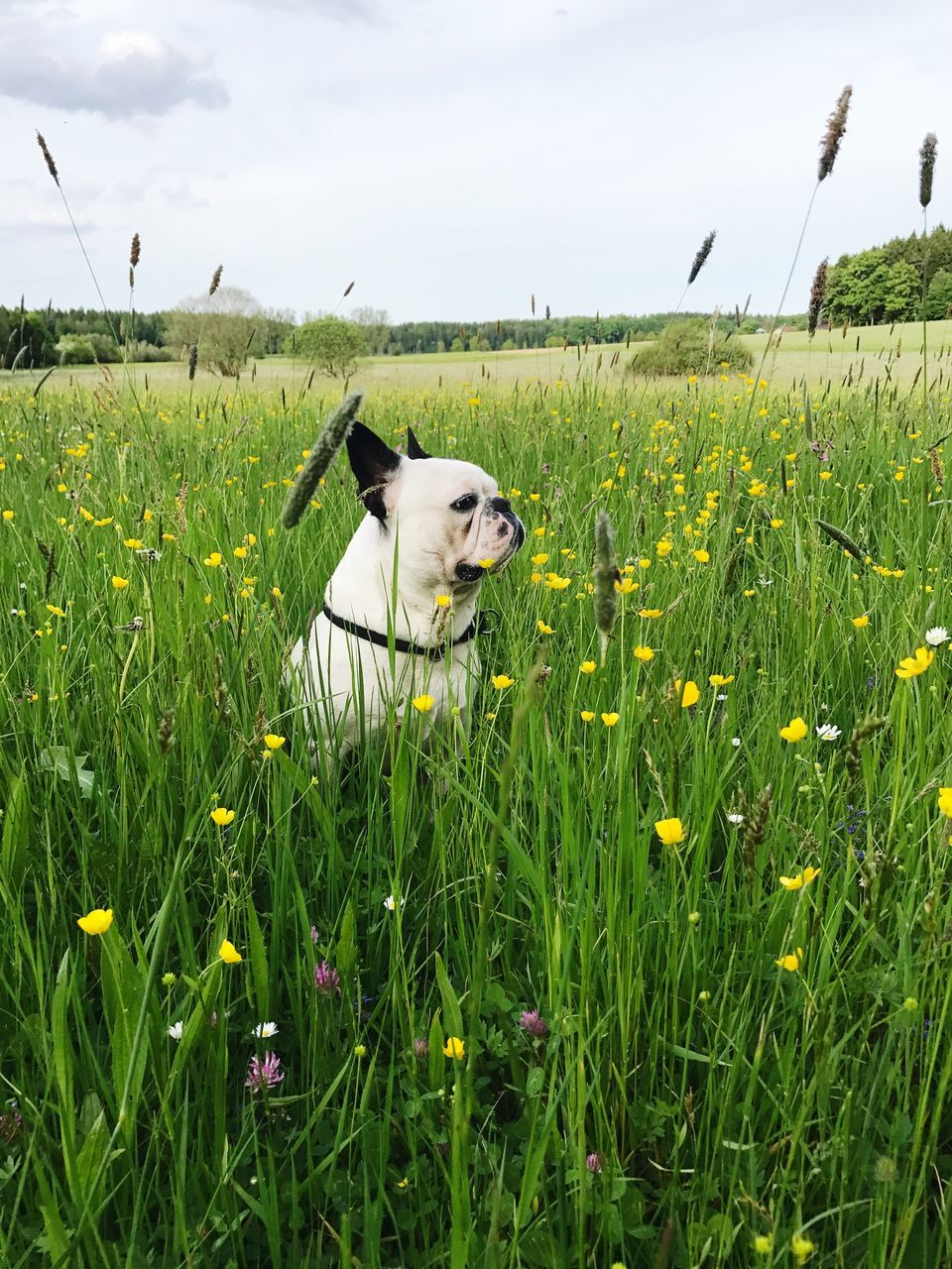 domestic animals, pets, one animal, dog, animal themes, mammal, growth, field, green color, grass, nature, day, sky, outdoors, flower, no people, cloud - sky, plant, beauty in nature