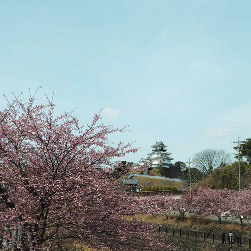 Sakura Sakura2017 Cherry Blossom Japanese Architecture Japanese Castle 城 Cherry Blossoms Pink Color Cityscape Outdoors Plant Flower Mirrorless Japan Ultimate Japan 掛川