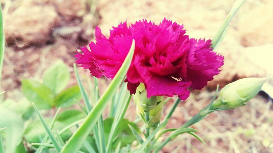 Dark Pink Dark Pink Flower Beautiful Beautiful Nature Nature Nature Photography Nature Collection 🌸flower🌸 🌸Nature🌸 Pink Flower Flower Pink Color Pink Flower 🌸 🌸~ Beautiful Flowers 🌸 🌷 Flowers 🌹 ❤❤ 🌸🌸🌷 ❤️❤️😍😍