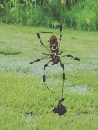 Mealtime. Spider Spider Web Spiders Food Mealtime Nature Predator And Prey Pred
