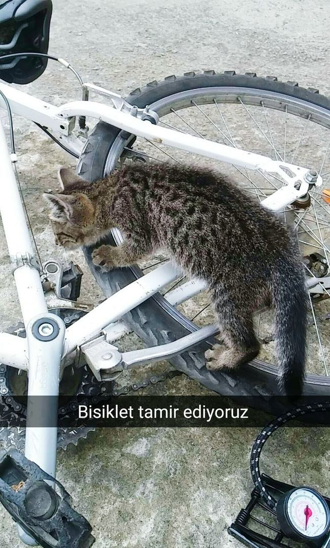 Cat Bicycle Tekir Bicycling Repairing Tires Best Friend Trabzon Beşirli