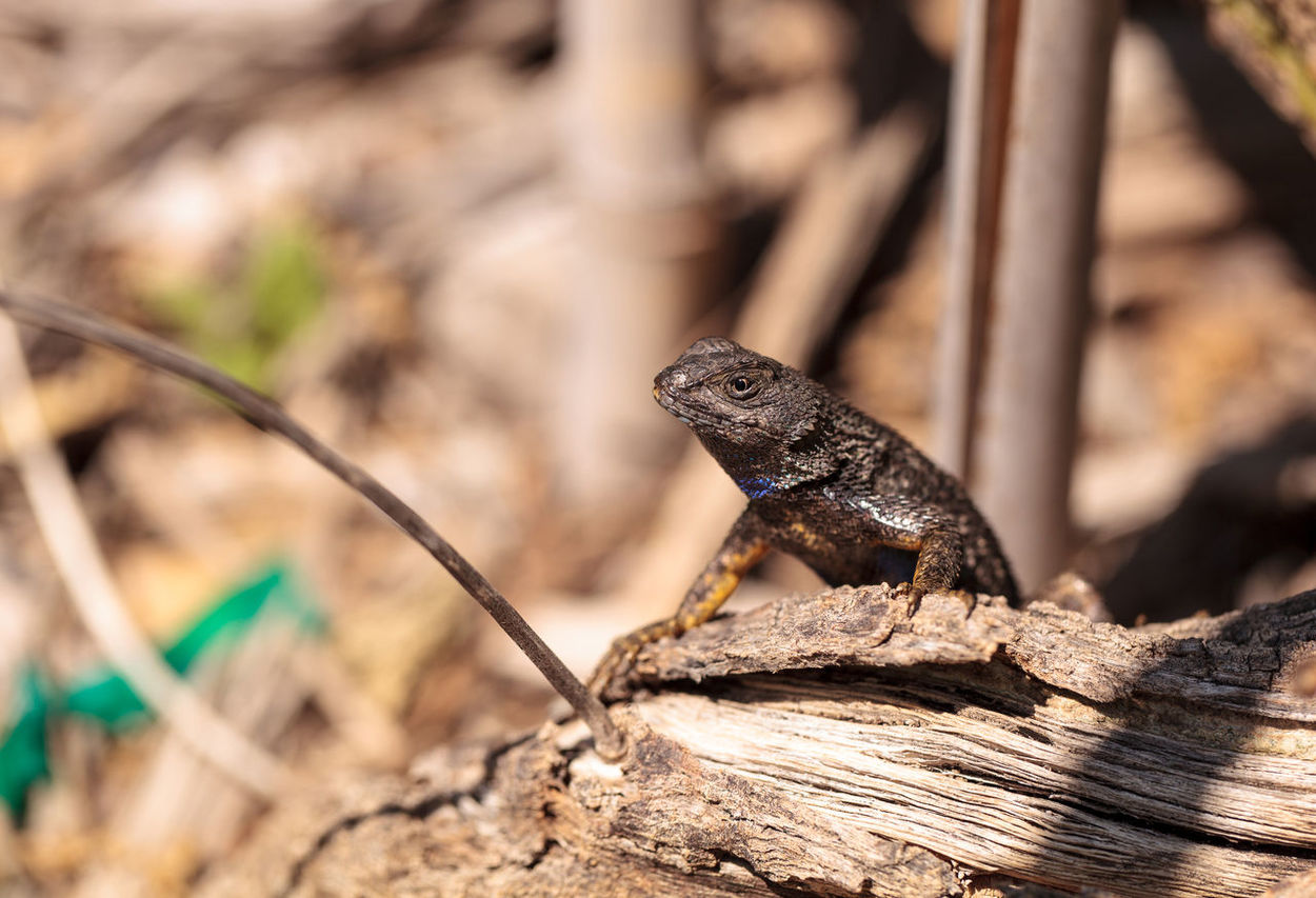 Western fence lizard called Sceloporus occidentalis with a purple throat during breeding season. Animal Themes Animal Wildlife Animals In The Wild Chameleon Close-up Day Herp Herpetology Lizard Lizard No People One Animal Outdoors Reptile Reptile Reptiles Saurian Sceloporus Occidentalis Western Fence Lizard Wildlife