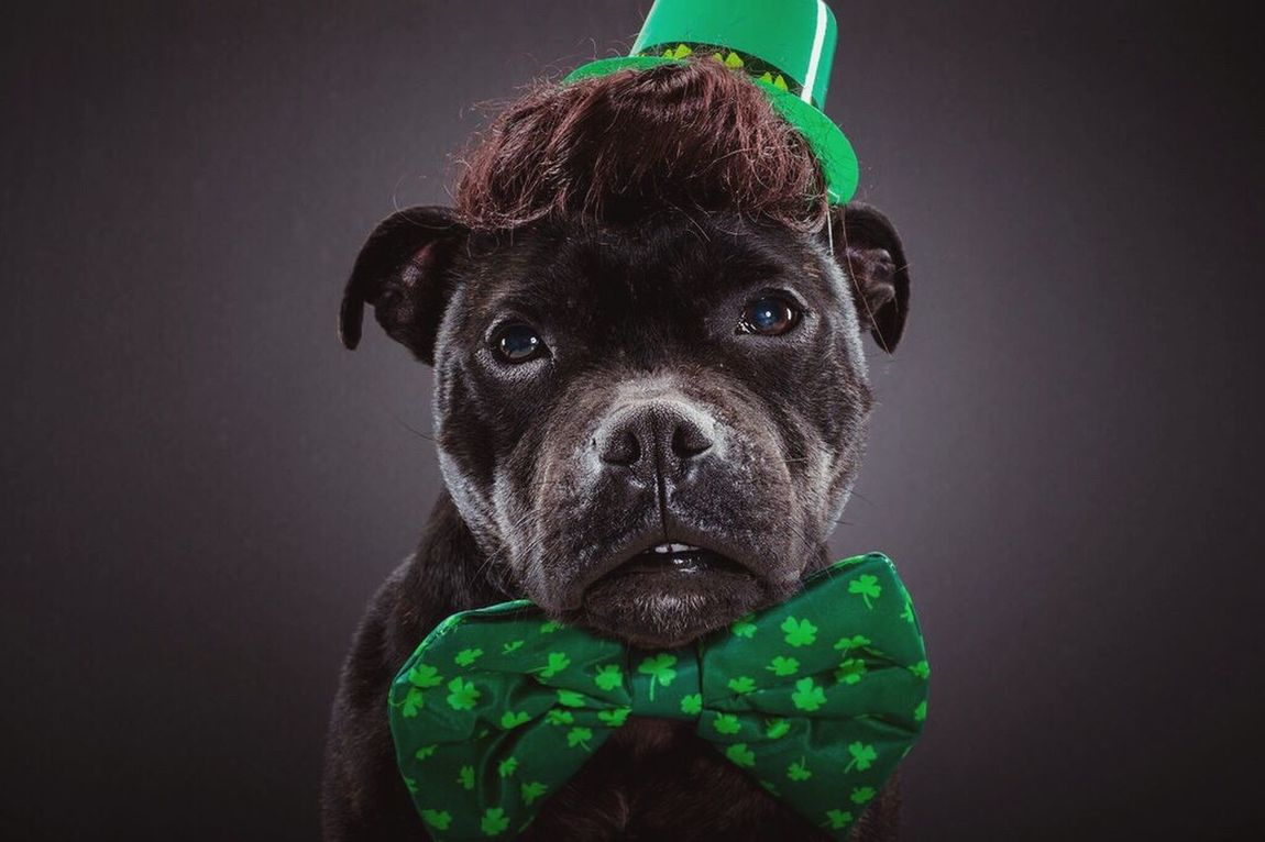 Ready for for some fun in March I Love My Dog Pitbull Rescuedog Staffordshire Bull Terrier Saint Patrick's Day Lucky Charms