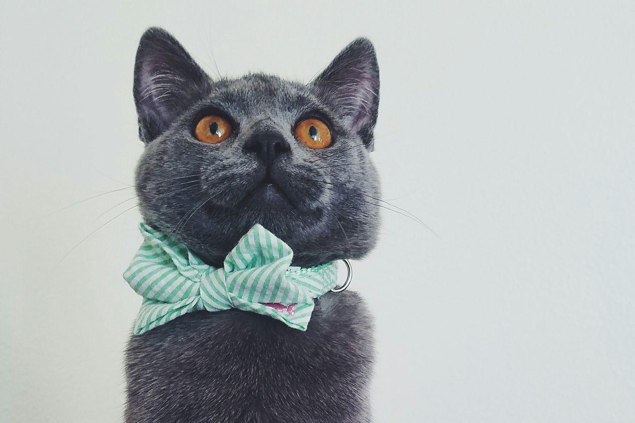 Beautiful stock photos of katzen, Animal Head, Animal Themes, British Shorthair, Close-Up