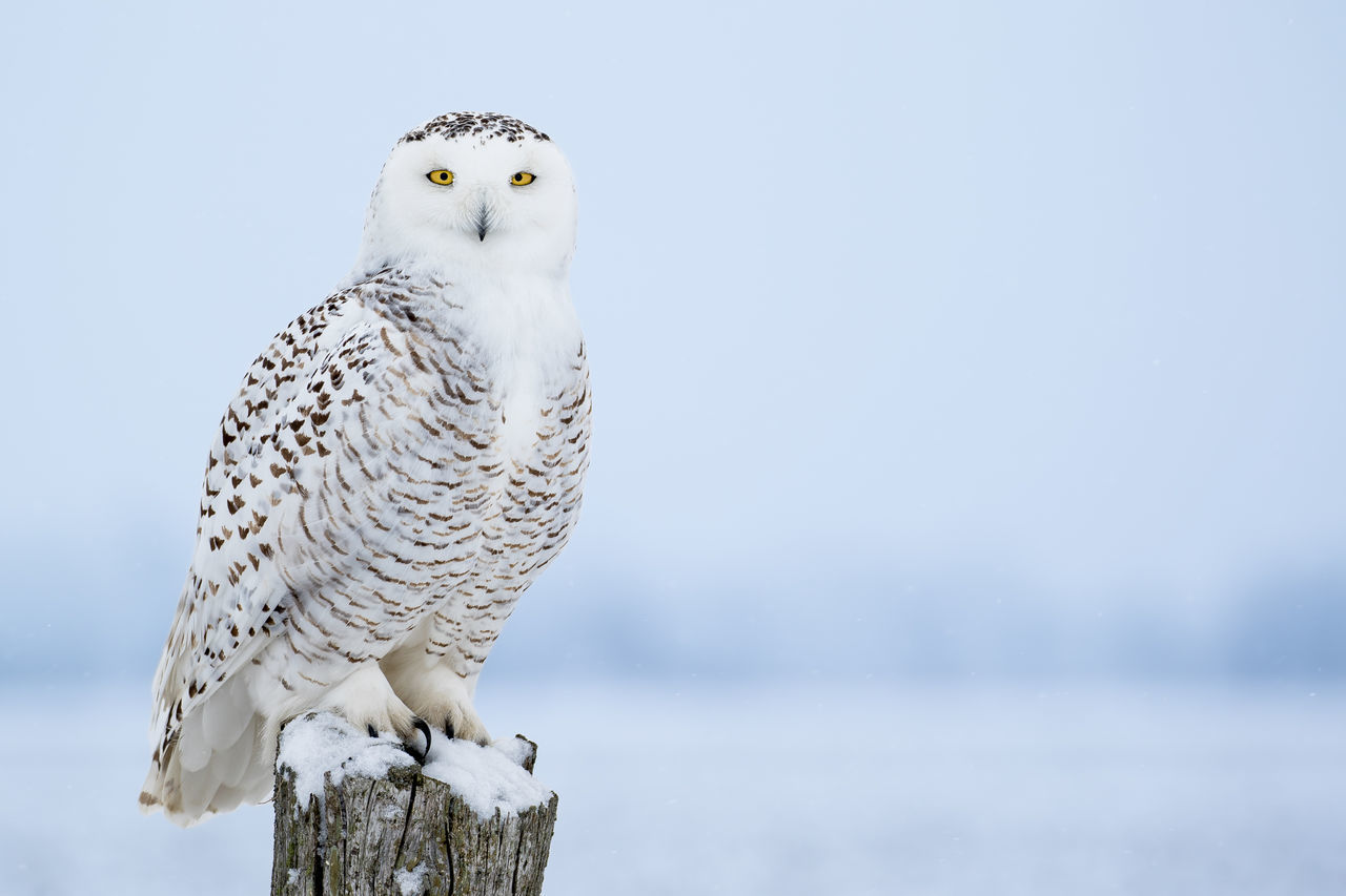 Snowy Owl, Bubo Scandiacus, perched on a post making eye contact with piercing yellow eyes. Light snowfall. Animal Themes Animal Wildlife Animals In The Wild Beauty In Nature Bird Bird Of Prey Bubo Scandiacus Close-up Day Nature No People One Animal Outdoors Owl Perching Snowy Owl
