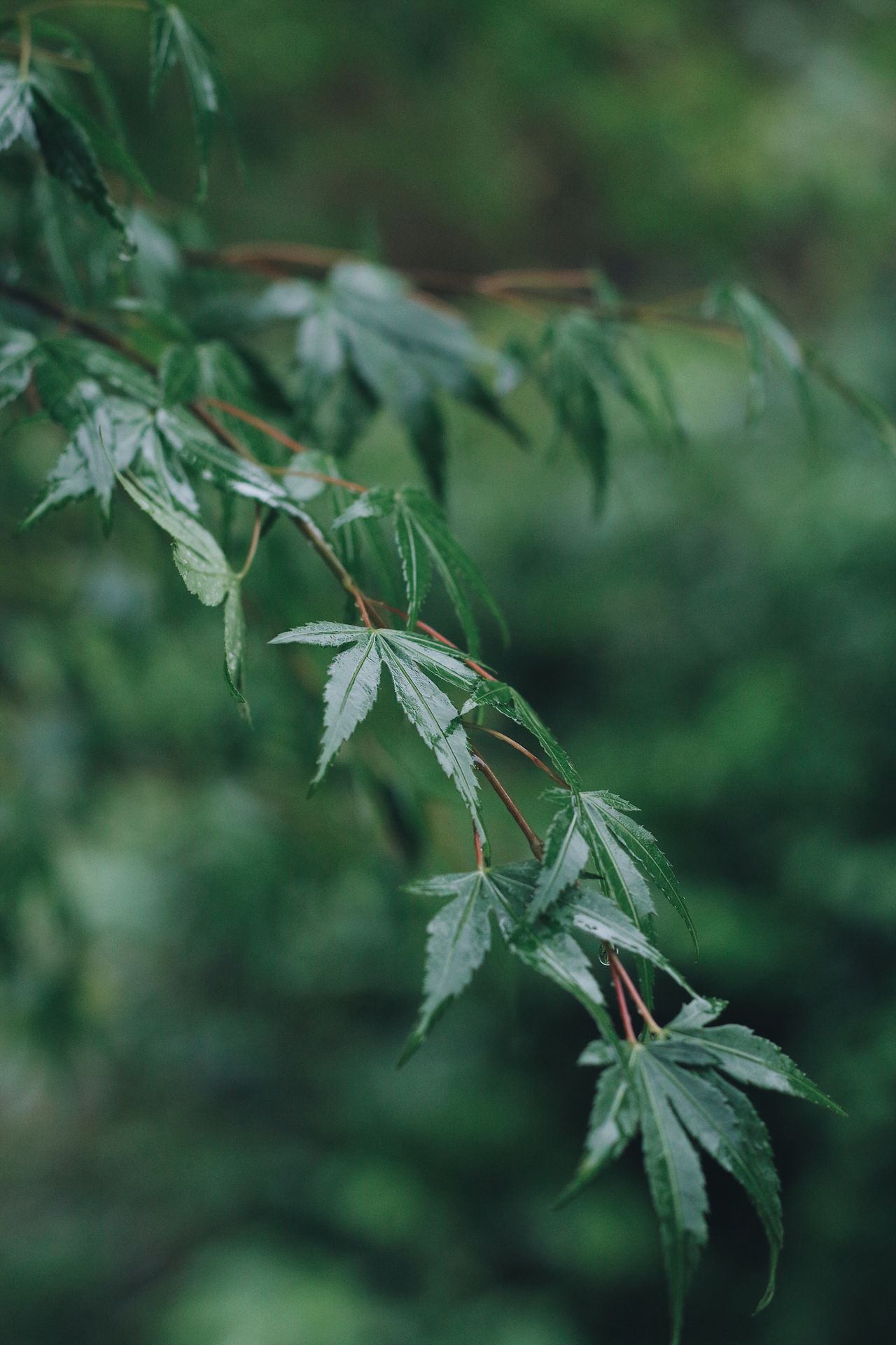 Leaf Green Color Plant Nature Focus On Foreground Growth No People Outdoors Day Close-up Fragility Beauty In Nature Freshness From My Point Of View EyeEmNewHere EyeEm Nature Lover EyeEm Gallery Maple Maple Leaf
