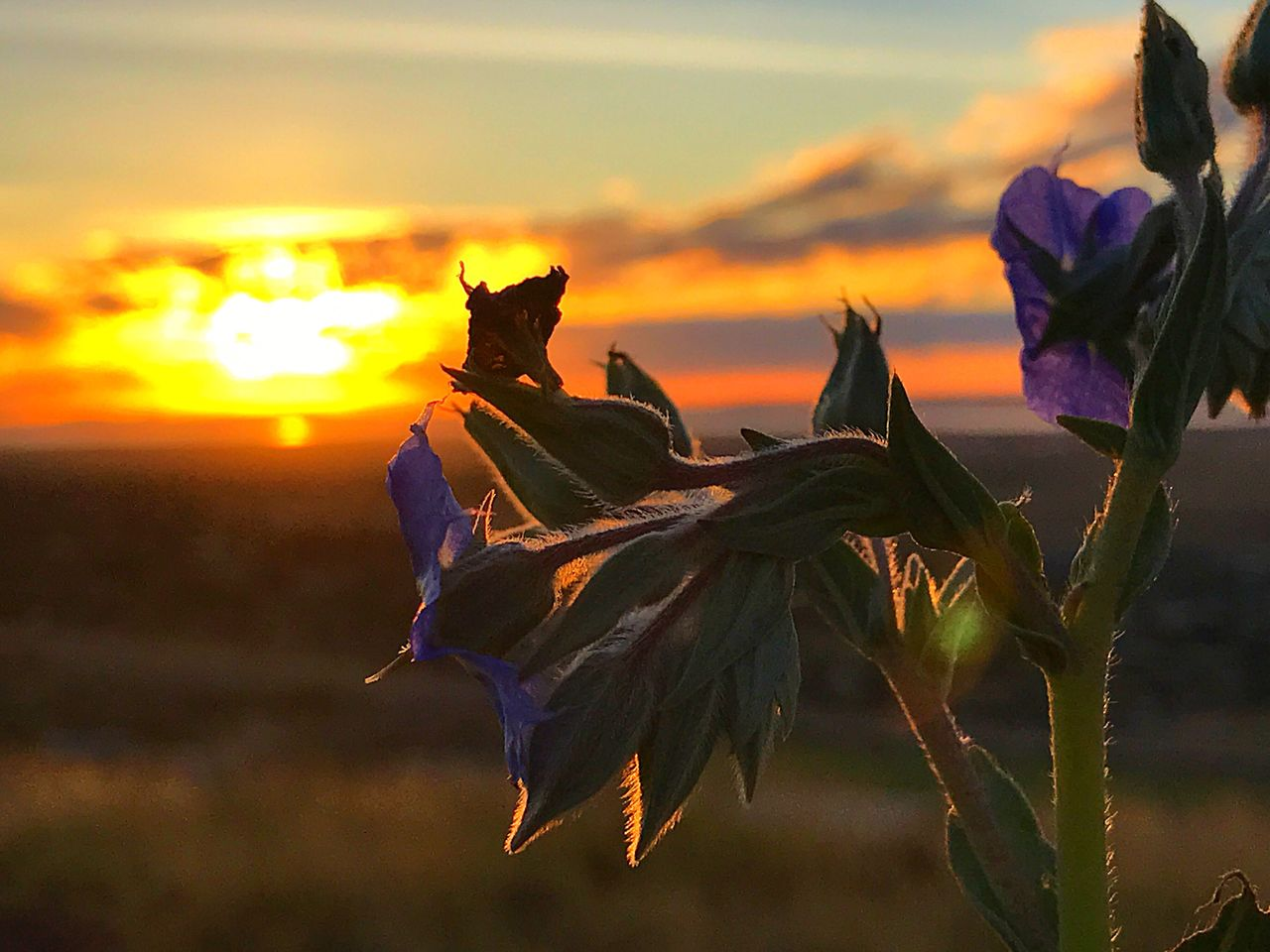 nature, sunset, beauty in nature, flower, sky, outdoors, no people, plant, petal, growth, leaf, close-up, fragility, water, day, animal themes, flower head, freshness