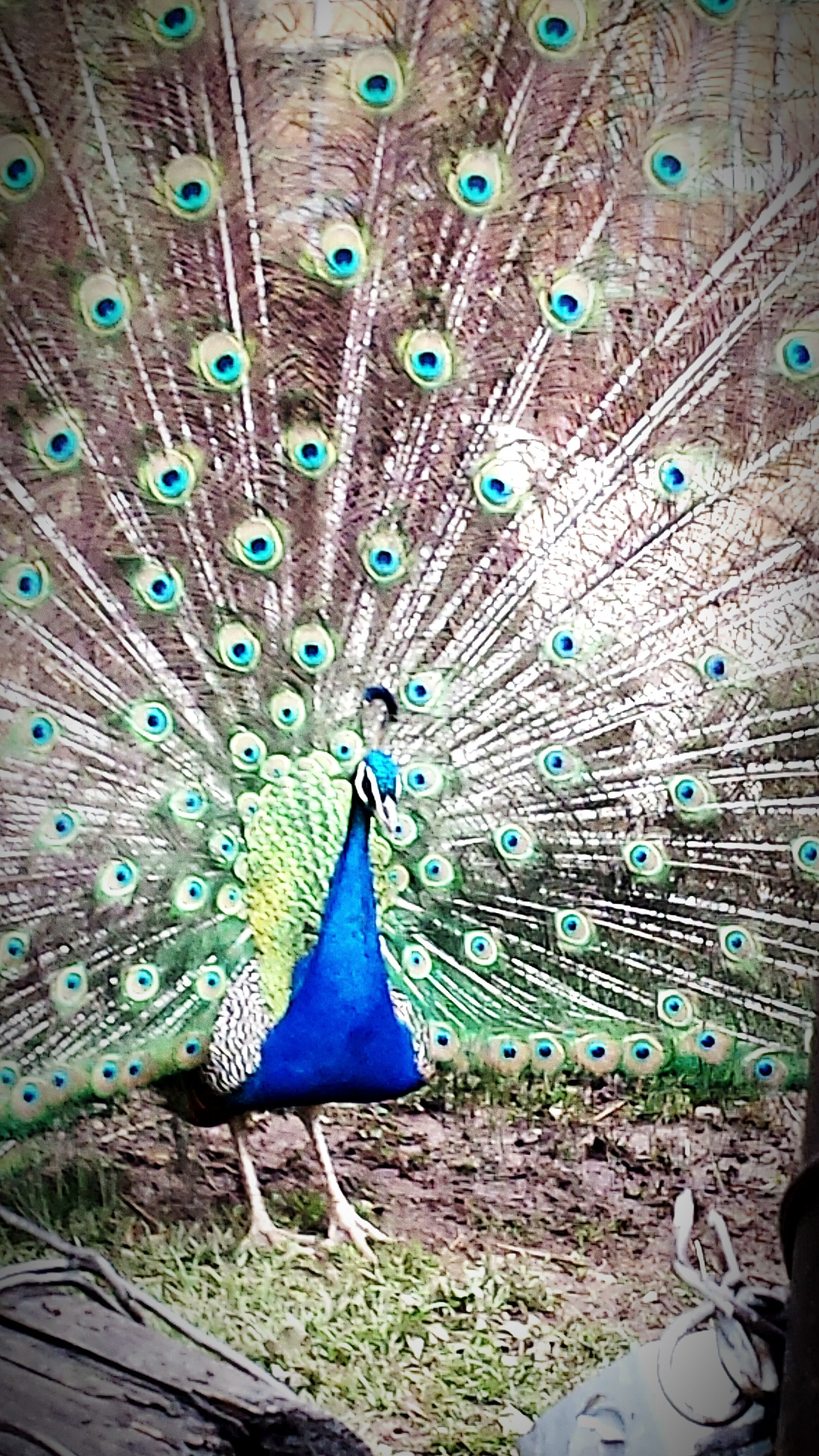 peacock, animal themes, one animal, feather, fanned out, multi colored, pattern, close-up, natural pattern, peacock feather, blue, wildlife, backgrounds, full frame, outdoors, purple, day, nature, bird, no people