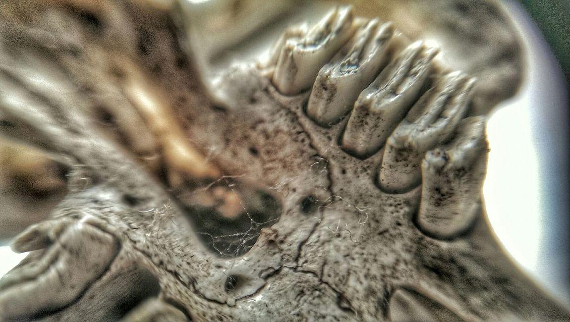 Teeth Skullporn Skullcandy Skull Rabbit Skull Nature_collection Beautiful Nature Cracks And Shadows Snapseed Editing  Htc One M8