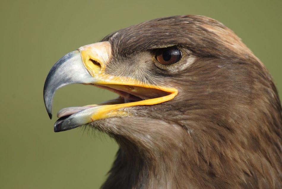 Beautiful stock photos of eagle, Animal Head, Animal Themes, Auto Post Production Filter, Bird