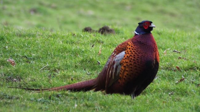 Fat Bird Phesant Gamebird Colours Nature Fountains Abbey Fountains Abbey Yorkshire