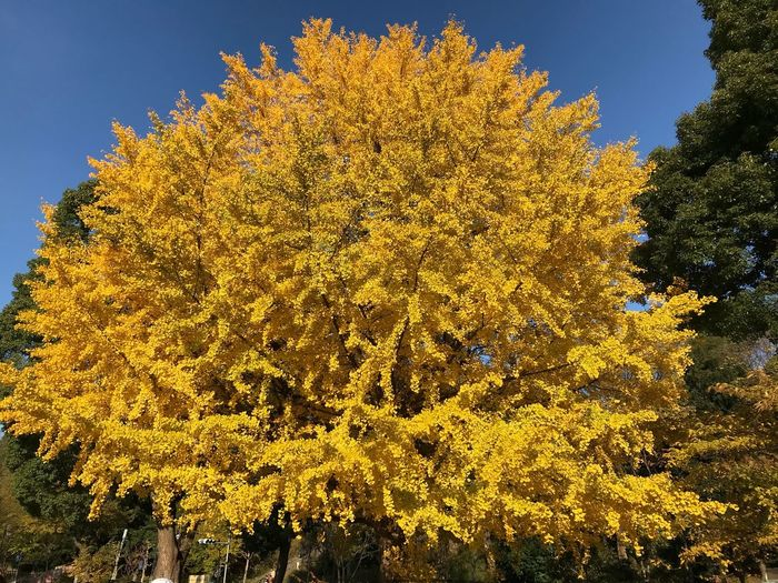 Autumn Tree Nature Beauty In Nature Change Yellow Leaf Growth Day Outdoors No People Scenics Tranquility Maple Tree Tranquil Scene Flower Sky Branch Fragility Close-up