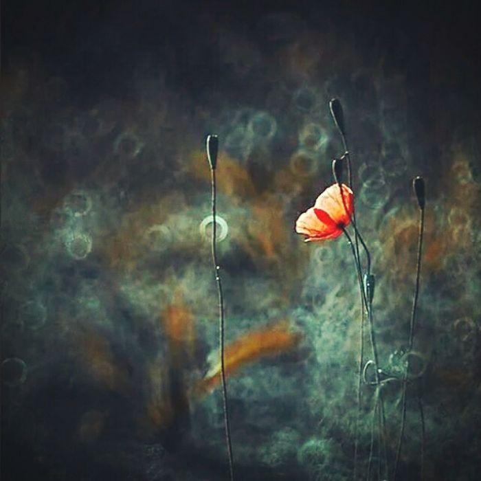 Rubinar Poppies  Maki Kwiaty Flowers