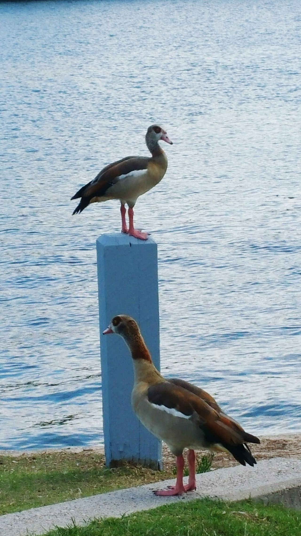 It got up there to pose for pics😄 Animals In The Wild Bird Animal Themes Wildlife Water Lake Nature Perching Water Bird Outdoors Beauty In Nature No People Feathers Colorful Popularphotos EyeemPhotos Photography The Woodlands Tx Posing Egyptian Goose