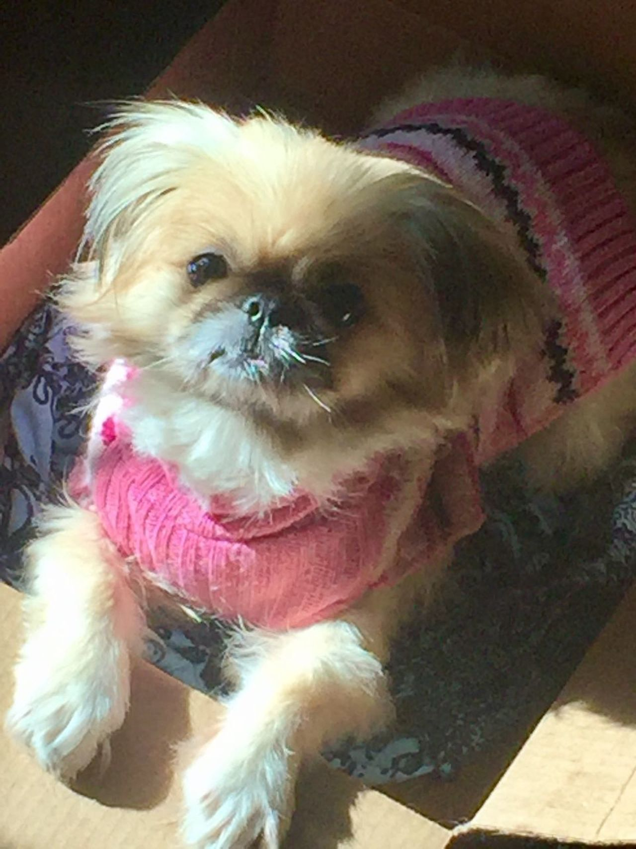 Millennial Pink Mia Pink Color Sweater Dog Domestic Animals Canine Love Posing Pets Family Pekingese