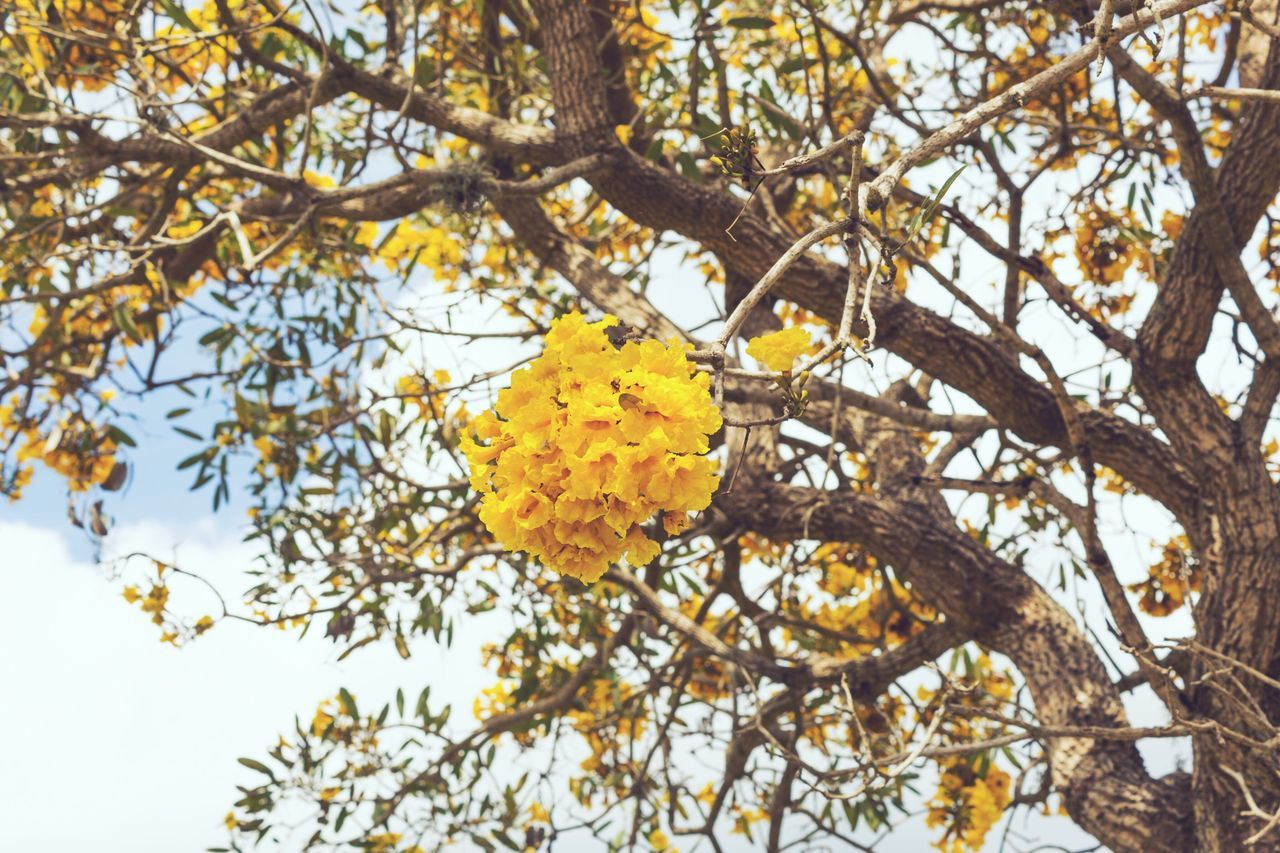 tree, branch, nature, beauty in nature, yellow, growth, flower, leaf, low angle view, no people, day, fragility, outdoors, freshness, close-up, flower head, sky
