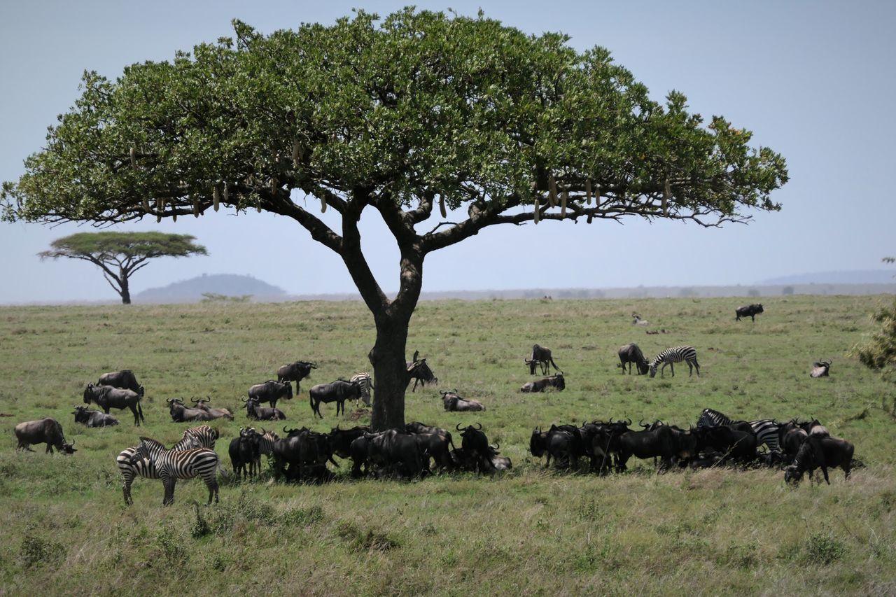 Serengeti Animal Animal Themes Animal Wildlife Animals In The Wild Beauty In Nature Day Gnus Herd Landscape Large Group Of Animals Mammal Nature No People Outdoors Plain Safari Animals Serengeti National Park Tree