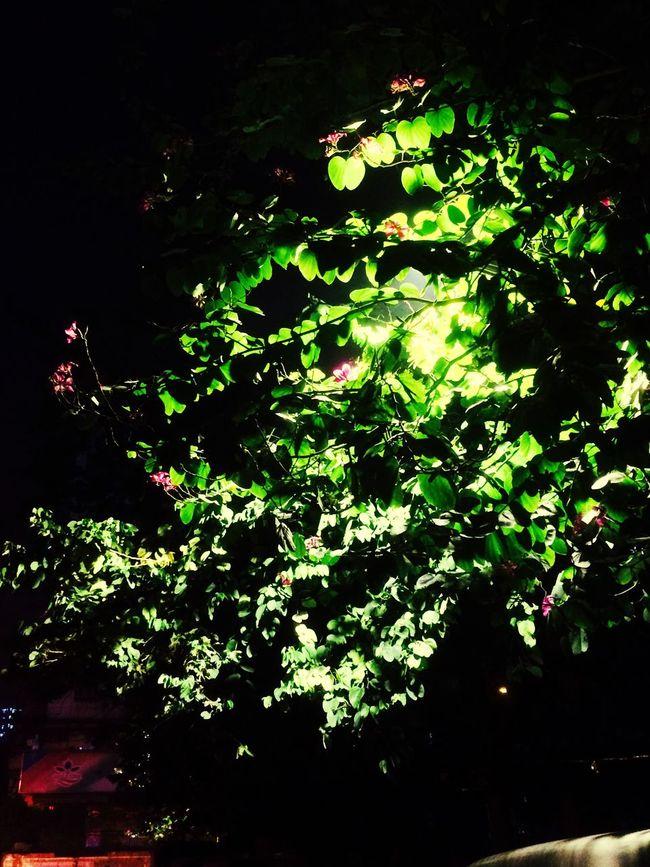 bauhinia blossom and a spring night 1537 Nature