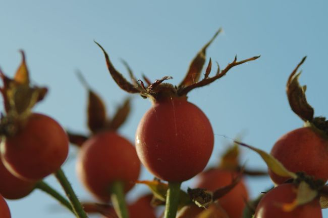 Rose Hips Close-up Day Focus On Foreground Freshness Fruit Growing Growth Leaf Macro Photography Medium Group Of Objects Nature No People Outdoors Red Ripe Rose Hips Rural Scene Selective Focus