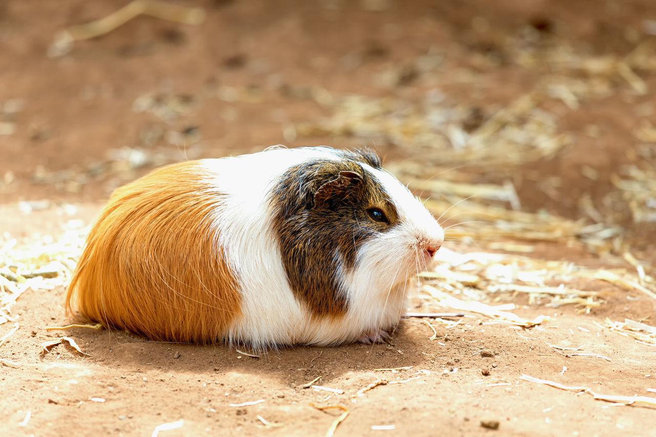 Beautiful stock photos of guinea-pigs, Animal Themes, Animal Wildlife, Animals In The Wild, Close-Up