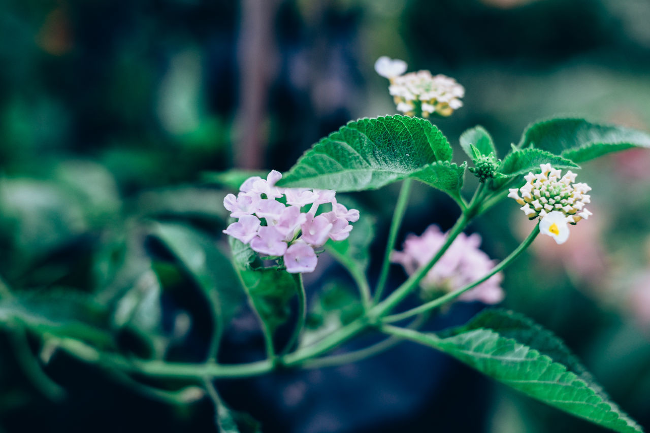 Beauty In Nature Blooming Botany Close-up Day Flower Flower Head Fragility Freshness Gardening Green Color Growth Lantana Camara Leaf Nature Outdoors Petal Plant Selective Focus Shrub Side View
