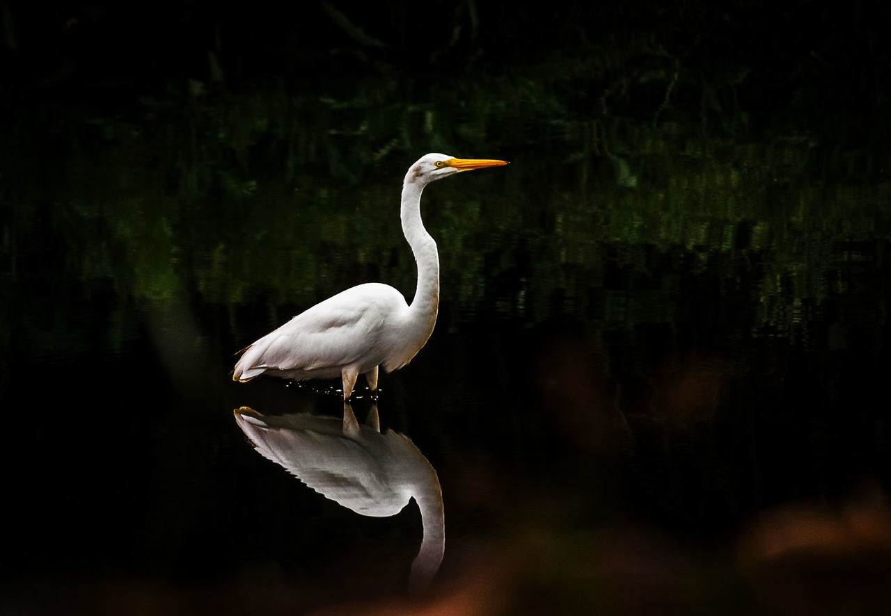 Bird One Animal Animal Wildlife Reflection Animals In The Wild Lake Animal Themes Nature Outdoors No People Water Beauty In Nature Sunset Full Length Heron Egret Animal Photo Canonphotography Animals In The Wild Naturephotography Animal Garça Branca Garças White White Color The Great Outdoors - 2017 EyeEm Awards EyeEmNewHere