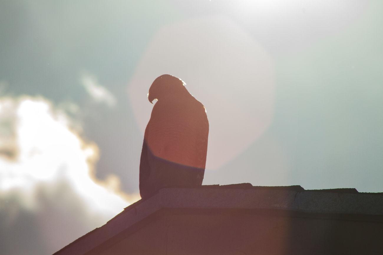 Beauty In Nature Bird Bird Of Prey Close-up Cloud - Sky Exactleigh Hawk Jamie Leigh Low Angle View Outdoors Silhouette Sky Sunbeam Sunlight Sunset