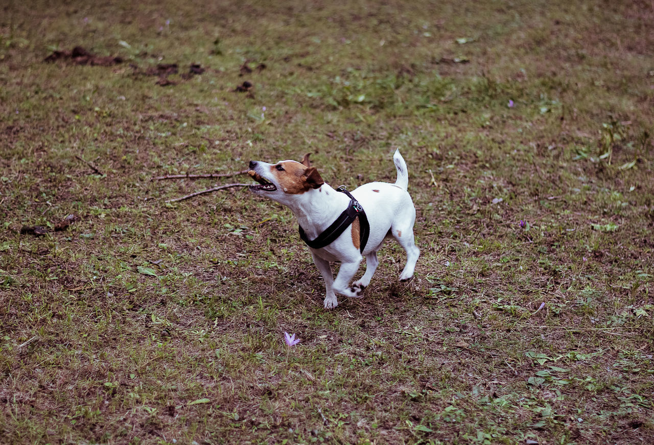 dog, pets, domestic animals, mammal, animal themes, field, one animal, grass, pet collar, no people, outdoors, day, nature, growth