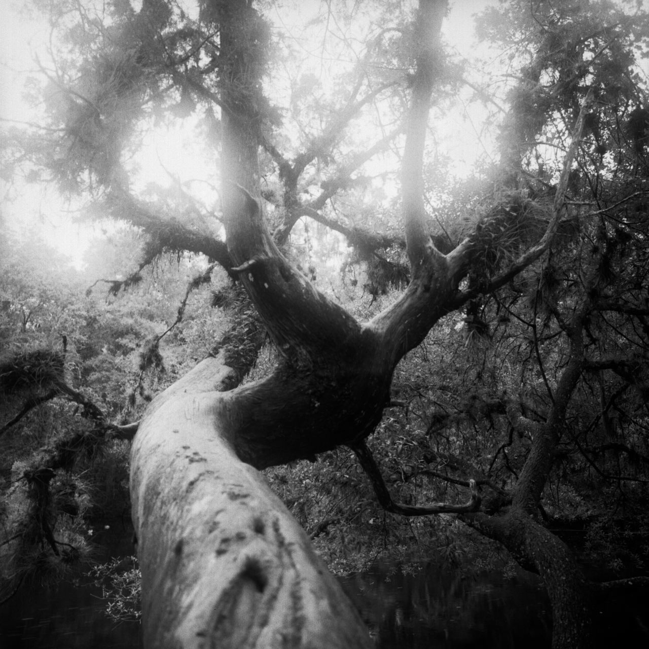 Analog Analogue Photography Beauty In Nature Black And White Branch Day Film Photography Forest Light And Shadow Light And Shadows Nature No People Outdoors Scenics Sky Spooky Swamp Tranquility Tree Tree Trunk