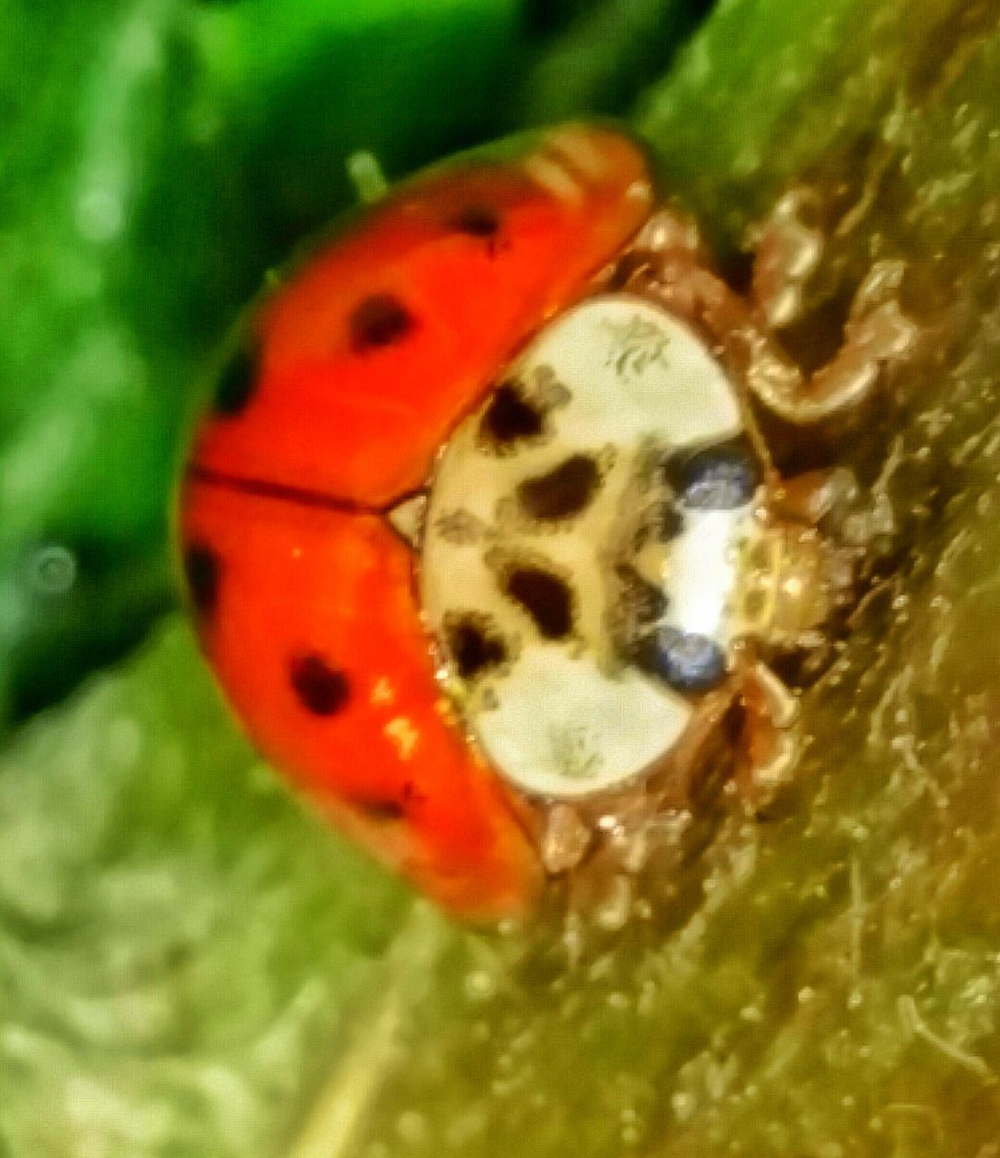 animal themes, ladybug, animals in the wild, insect, close-up, one animal, wildlife, tiny, no people, red, nature, animal markings, day, outdoors