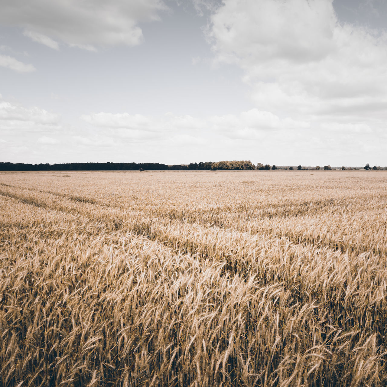 scenic view of field against sky Agriculture Brandenburg Cereal Plant Corn Field Crop Field Day Field Food Germany Growth Havelland Landscape Muted Colors Nature No People Outdoors Philipp Dase Rural Scene Sky Summer Summer Field Summer Vibes Summertime Wheat