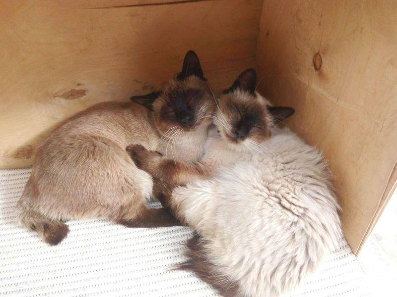 Lovely Cats Kitty Love Cat Lovers Cute Cats Birmancats