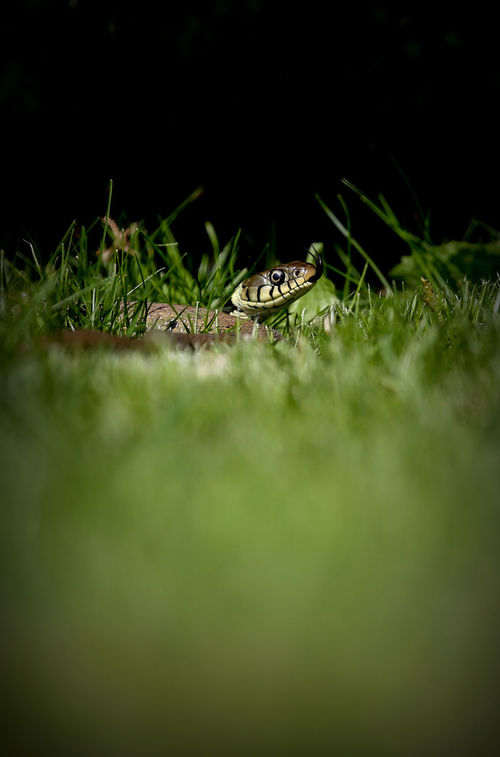 No People Reptile Beauty In Nature Natgeowild Wildlife Wild Nature Water Living Organism Animal Themes Animals In The Wild Grass Snake